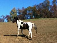 2007 Homozygeous Tri-Colored APHA Registered Stud