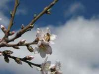 Healthy & Srong Honey Bees for Almond Pollination. We