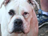 Honey's story I am a 4 year old white female Boxer. I