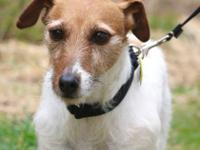 Honey Bun is a 7 year old spayed female Jack Russell