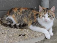 Honey is a 1-2 year old Calico mix.  she is friendly,
