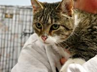 Honey is as Honey does! This loving young tabby and