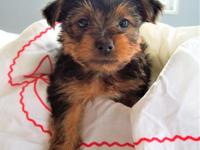 Name: Honey Gender: Female Breed: Yorkshire Terrier