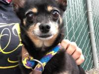 Honey Girl (A160198)  8 years old  5.4lb  Sweeter than