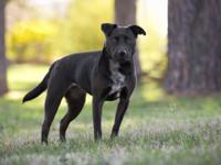 Honey is a beautiful , playful 50 lb, Black Lab mix and