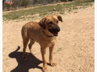 Honey is a 4 year lab/retriever female dogHi, nice