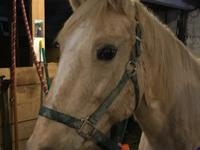 Honey is a 16 year old grade palomino mare. She came in