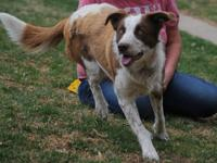 Honey is a smart young border collie who came to us
