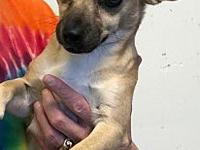 My story Honey is a 1 year old, Chihuahua/Terrier mix.