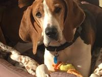 Honey is a five-year-old, 54 pound female, coonhound