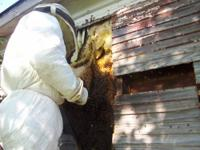 DC, MD, VA.(D.M.V SWARM COLLECTOR) Honey Bee removal