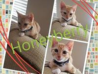 Honeyberry's story All of our kittens are in various