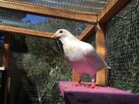 "Honor is a white homing pigeon (the type used for ""dove"