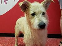 Honthy's story Honthy is a male Wheaton Terrier mix,