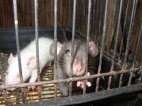 I have large quantities of rats available for adoption.