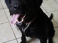 Hope's story Hope is a 3-year-old Schnoodle (standard