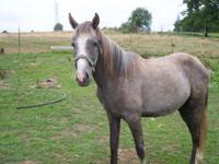Star Gazer is a 1 �½ year old Arab/Morgan filly looking