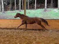 Blue Hawaiian Rum is a 15.1hh broke reg. AQHA gelding
