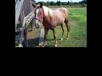 15 MTH. TENN. WALKING HORSE, 14 HANDS. BEBE IS A