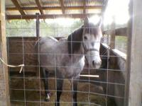 5 yr old, bay mare, 14- 14.3h, started, loads, ties,
