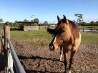 Registered 5 yr. old  16 '2 Quarter Horse Gelding