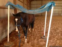 12yr old registered solid black paint.  He is very