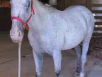 I have a grey rat tailed Appaloosa mare , she is 6