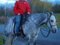 7 yr. old grade grey gelding , utd on everything , goes