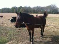 I have a bay Quarter Horse for sale. He is a gelding