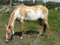 HORSE FOR SALE MARE -- 15 HANDS - BREEZE SUMMER