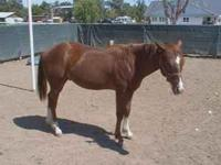 14 month old stud colt quarter horse for sale. Mother