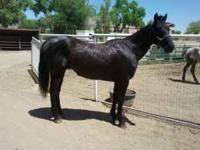Black QH for sale. Great horse, was used on a ranch and