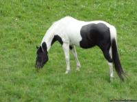 13 yr.  old Quarter/ Walker mare. Black/ White.