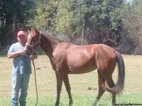 beautiful tennesee walking horse.4 years old.cant