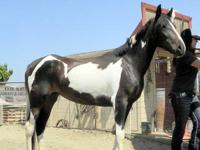 "Lucy (named after ""I love Lucy) Call to see this mare"