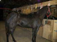 8 Yr old Gelding Tennessee Walker Dark Bay, 17hd, Dead