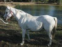 A beautiful white arabian gelding ready to ride and
