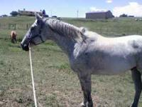 Troy is a well built, gray gelding, 11 year old, 15.3