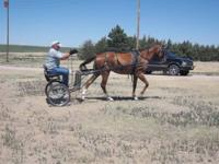 great 4 year old buggy horse for sale,asking1000.oo