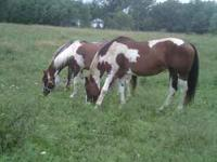 Halter mare reg APHA 14 yrs old had plans to breed her
