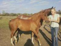 I HAVE FOUR HORSES FOR SALE FIRST IS STAR A YEARLING