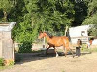 I HAVE A GORGOUS ARABIAN MARE, 4 YRS OLD, ABOUT 14.2