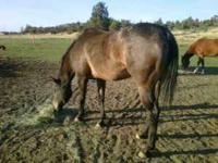 DH Fanci Navajo Miss is a 5yr old registered appaloosa