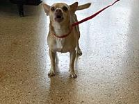 hoss's story hoss male 2-3 year chihuahua mix Adoption
