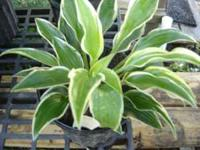 Deal #1 I have the following hosta potted and all ready