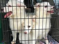 These 3 litter mates were surrendered by a puppymill to