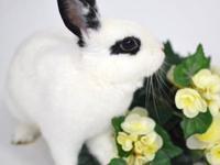 Hotot - Kayi - Small - Young - Female - Rabbit Hi