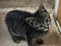 Houdini's story Houdini is a 9wk old male DSH. He is a