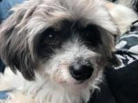 HOUDINI  Terrier / Poodle Mix | White - Gray | Extra