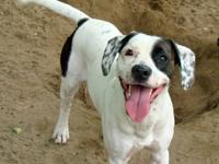 Hound - 1008 - Henderson - Large - Young - Male - Dog
